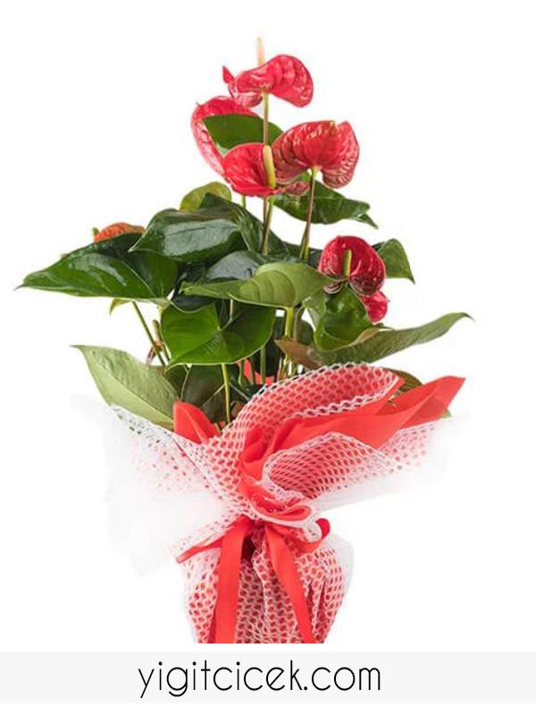 kırmızı antoryum ( saksı çiçeği)