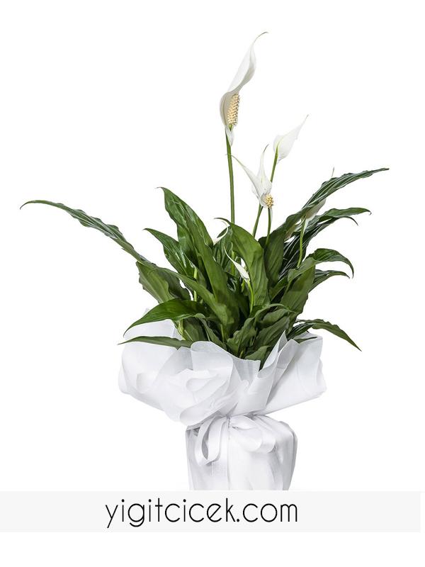 barış çiçeği ( spatyum)