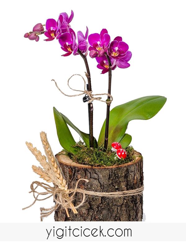 kütük saksıda mini mor orkide